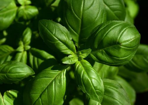 ALBAHACA: sabor italiano en la cocina